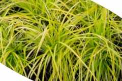 Gold Everilo Grass
