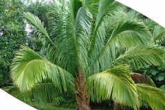 High Plateau Coconut Palm