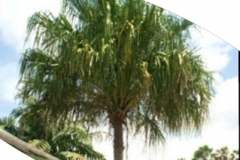 Ribbon Palm