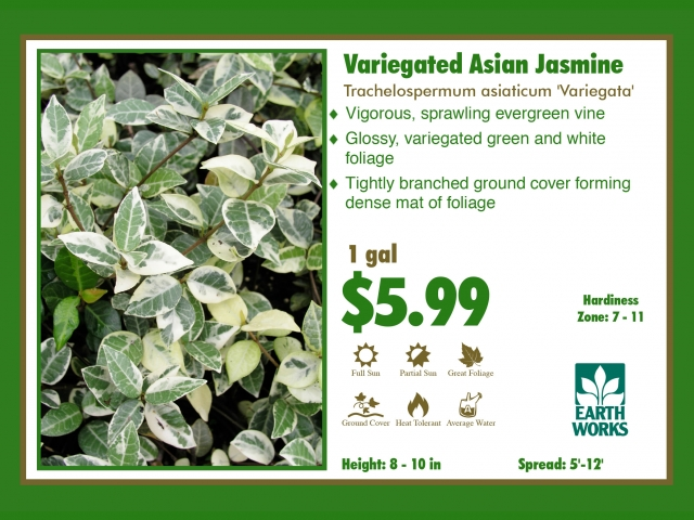 Asiatic Jamine Variegated