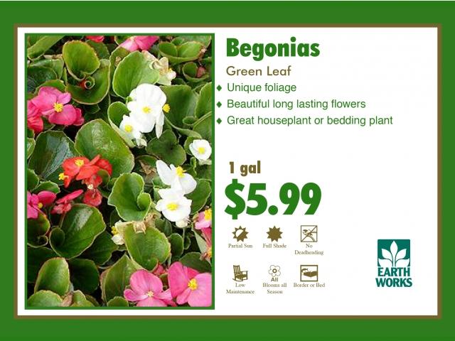 Begonia green Leaf
