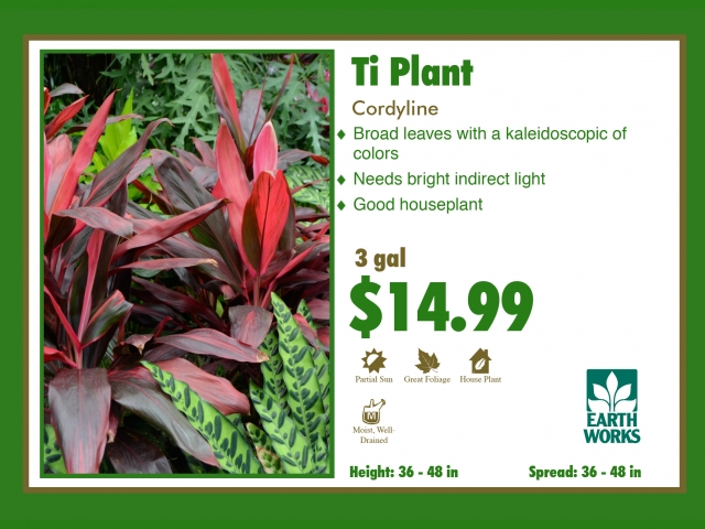 Cordyline Red Sister Ti Plant