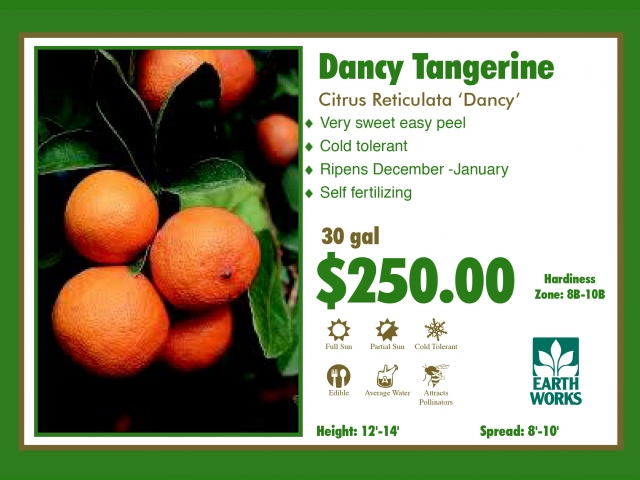 Dancy Tangerine