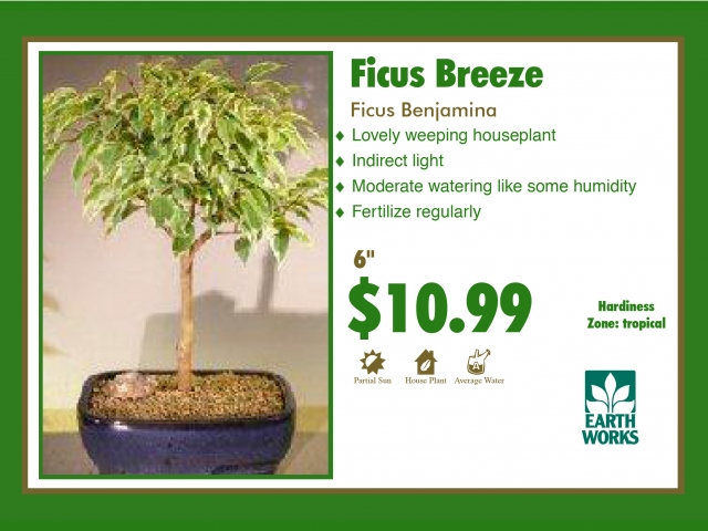 Ficus Breeze