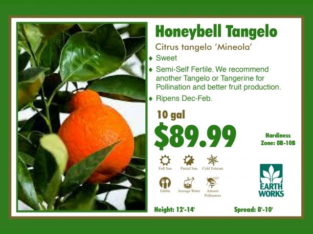 Honeybell Tangelo