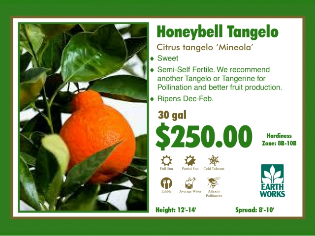 Honeybell Tangelo