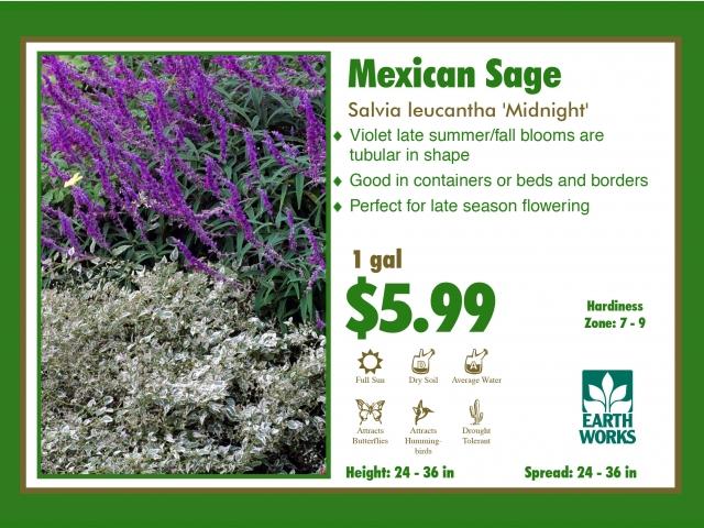 Mexican Sage