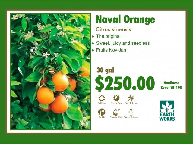 Naval Orange