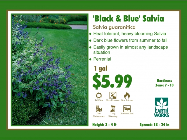 Salvia Black and Blue