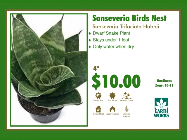 Sanseveria Birds Nest