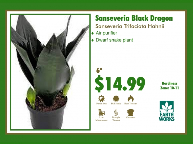Sanseveria Black Dragon