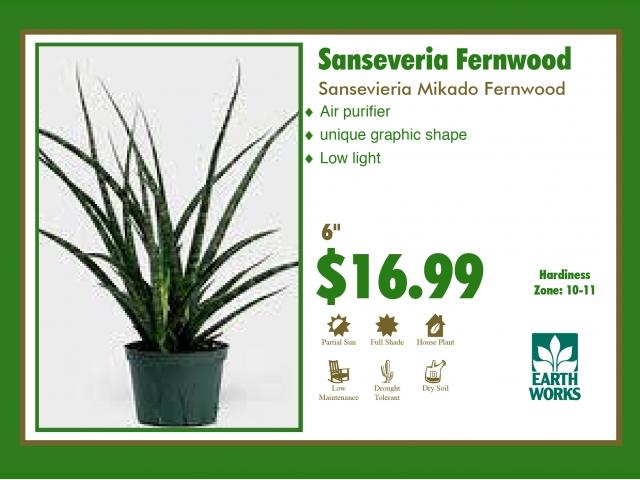 Sanseveria Fernwood