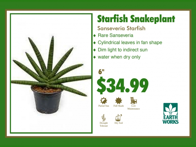 Sanseveria Starfish