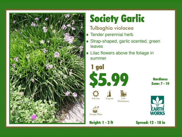 Society Garlic