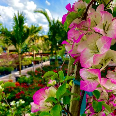 Growing Bougainvillea in Northeast Florida