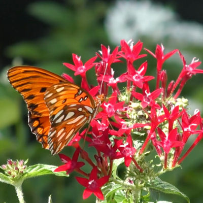 Landscaping for pollinators in Northeast Florida